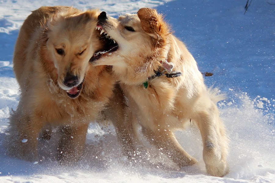 Snow buddies by Neil Storey - Animals - Dogs Playing ( , snow, winter, cold )