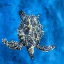 Flying Turtle by Andy Schwanke - Animals Sea Creatures ( clear water, hawaiian green sea turtle, sea turtle, green sea turtle, ocean, hawaii,  )