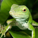 Green lizard (Anolis)