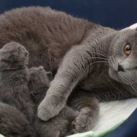 Just born chartreux kittens by Serge Ostrogradsky - Animals - Cats Kittens ( cats, mother, new litter, chartreux, certosino, kittens,  )
