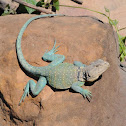 Eastern collared lizard (male)