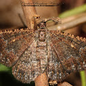 Somber Carpet Moth