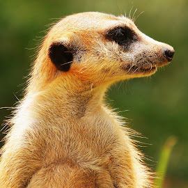 Meerkat by Jamie Ross - Animals Other Mammals ( meerkat, african animals )