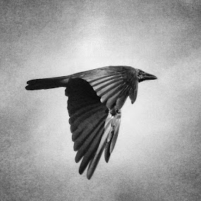 Feni. September 2014 by Shiful Riyadh - Black & White Abstract ( abstract, bird, flying, instagram, black & white, crow, mobile photography,  )