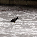 Eurasian Coot on Thin Ice