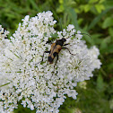Speckled longhorn beetle