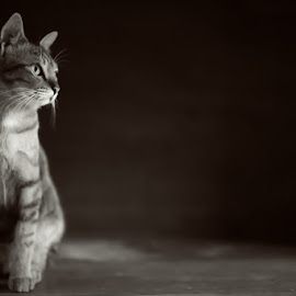 cat and the blank side by Milan Holic - Animals - Cats Kittens ( kitten, cat, black and white, chocolate color, animal,  )