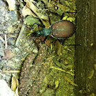 Margined snail-eating beetle
