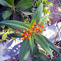 Mexican Butterfly Weed, Blood-flower, Scarlet Milkweed
