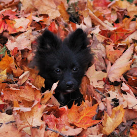 fall fun by Mick Leppien - Animals - Dogs Puppies