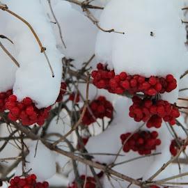 Rowanberry, Suzdal, Russia by João Branquinho - Nature Up Close Gardens & Produce ( rowanberry, winter, russia, snow, suzdal )