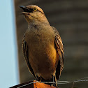 Sabiá-do-campo(Chalk-browed Mockingbird)