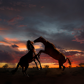 Horses Playing at Sunset by Alison Kekewich Duncan - Animals Horses ( horses in karoo scene, horses rearing at sunset, horses establishing dominance at sunset, horses playfighting at sunset with windmill, horses rearing, horses establishing dominance )
