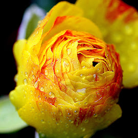 by Biljana Nikolic - Flowers Flower Buds (  )
