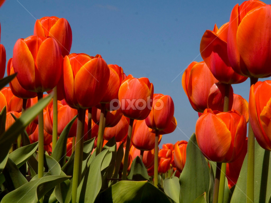 Tulip 11 by BertJan Niezing - Flowers Flower Gardens ( tulip, summer, flowerfield, flower, sun )