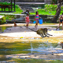 Monkey business by Kristin Cosgrove - Novices Only Wildlife ( monkeys, beach, macaques, kuala lumpur, river )