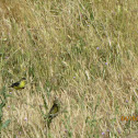 Lesser Goldfinch (Male and Female)