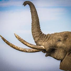 by Nigel Atkins - Animals Other Mammals