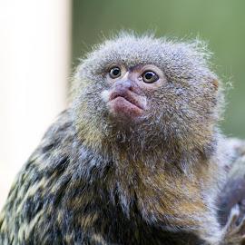 Pygmy marmoset by Pietro Ebner - Animals Other Mammals (  )