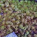 Haircap moss
