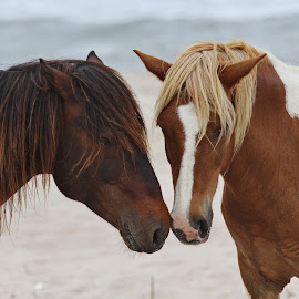 nuzzle by Paul Flacco - Animals Horses ( wild, horses, ponies, horse, beach, assateague, animal )