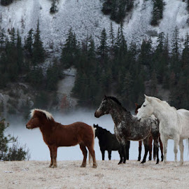 Winter Horses by Kansas Allen - Animals Horses ( ranch, animals, pony, canada, horse, white, farm, mountians, winter, cold, hay, trees, brown, feed, bc, lillooet )