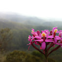 Epidendrum Wild Orchid