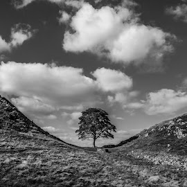 The Ash Tree on Hadrians Wall by Colin Waite - Landscapes Mountains & Hills ( tree hadrians wall ash hills clouds sky leaves grass heather stones )