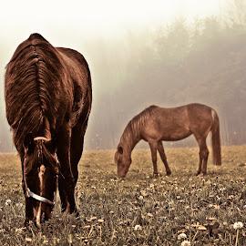 horses in the fog by Terenti Bittner - Animals Horses ( horses, gorgeous, fog, big,  )