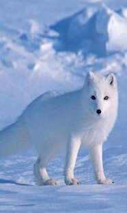 Arctic Fox Wallpapers - screenshot