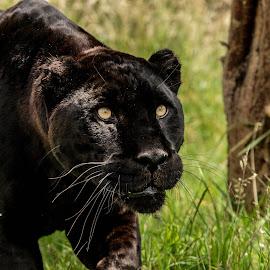 Black Jaguar by Garry Chisholm - Animals Lions, Tigers & Big Cats ( jaguar, garry chisholm, predator, carnivore, nature, wildlife, black )