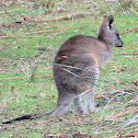 Eastern grey kangaroo (♀)
