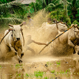 Cow Race; one of the many unique traditions in West Sumatera culture.. by Sang PecanduHujan - News & Events Entertainment