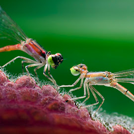 Romance by Percy (ReverseLensOnlyMacroPhotography) - Novices Only Macro (  )