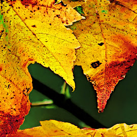 Maple Leaves by Robin Amaral - Nature Up Close Leaves & Grasses ( new england, autumn leaves, foliage, branch, leaves, maple leaves,  )