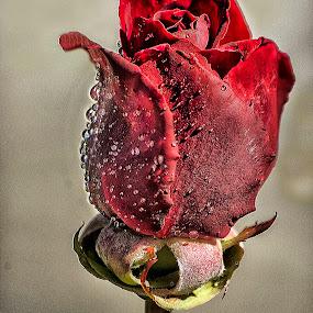 Rosebud by Jamie Valladao - Flowers Flower Buds ( rose, rosebud, red, bud, flower,  )