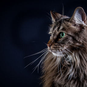 by 'Monique Smit - Animals - Cats Portraits (  )