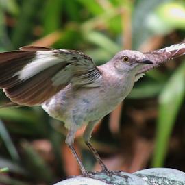On Display by Jamie Boyce - Animals Birds ( state bird, wings, florida, wildlife, display, signal, birds, mockingbird,  )
