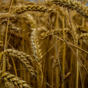 Oat crop. by Robert Stanley - Landscapes Prairies, Meadows & Fields (  )