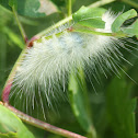 Yellow Woolybear Moth Caterpillar
