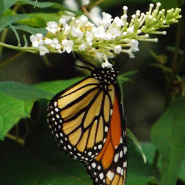 Monarch Butterfly. by Sarah Thomas - Novices Only Wildlife