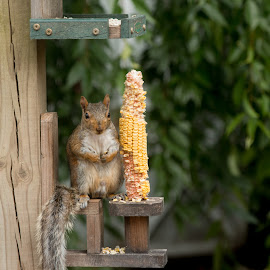 I like corn but I love peanuts! by Laura Lindsay - Animals Other ( nature, squirrels, cute, squirrel, animal )