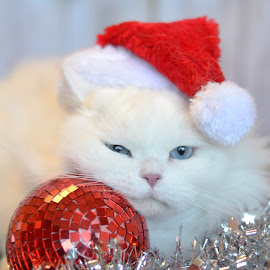 Naughty or Nice by Janet Buddington - Animals - Cats Portraits ( blue eyes, santa hat, white cat,  )