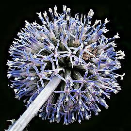 Methamorphosis At the Top by Marija Jilek - Nature Up Close Other plants ( methamorphosis, ball, nature, other plants, stem, top )