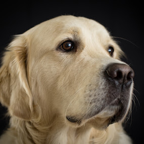 Dudley Dog by Mike Woodford - Animals - Dogs Portraits ( retriever, furry, whiskers, dog, golden,  )