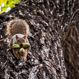 Three Nuts by Lou Plummer - Animals Other Mammals ( austin, tree, nature, texas, nuts, squirrel,  )