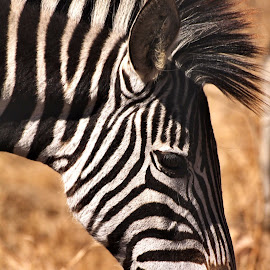 Zebra by Belinda Bailey - Animals Other ( #africa, #grazing, #zebra, #stripes, #blackandwhite )
