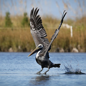 Perfect Landing by Jared Lantzman - Animals Birds ( water, bird, nature, wings, nest, fishing, hungry, pelican, birds, , fly, flight )