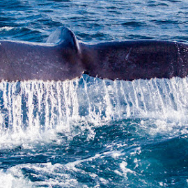 Waterfall by Jason Hutchison - Animals Sea Creatures ( water, blue, hupback, ocean, whale, tail )