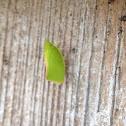Flatid Plant Bug